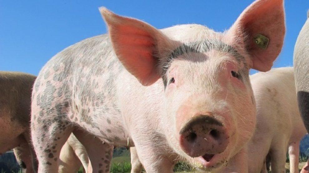 Svinjski grip – simptomi i prevencija