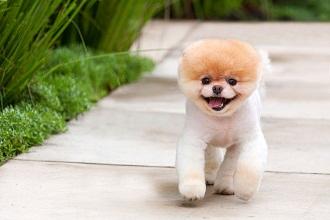 Boo – najslađi pas na svetu