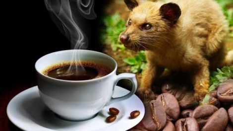 Kopi Luwak – najskuplja kafa na svetu