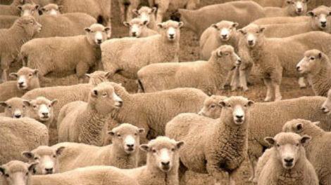 Placenta ovce za negu lica