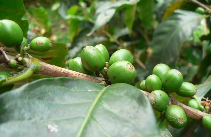 zrna zelene kafe