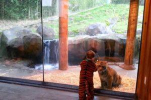 Mladunče čoveka i tigra u igri