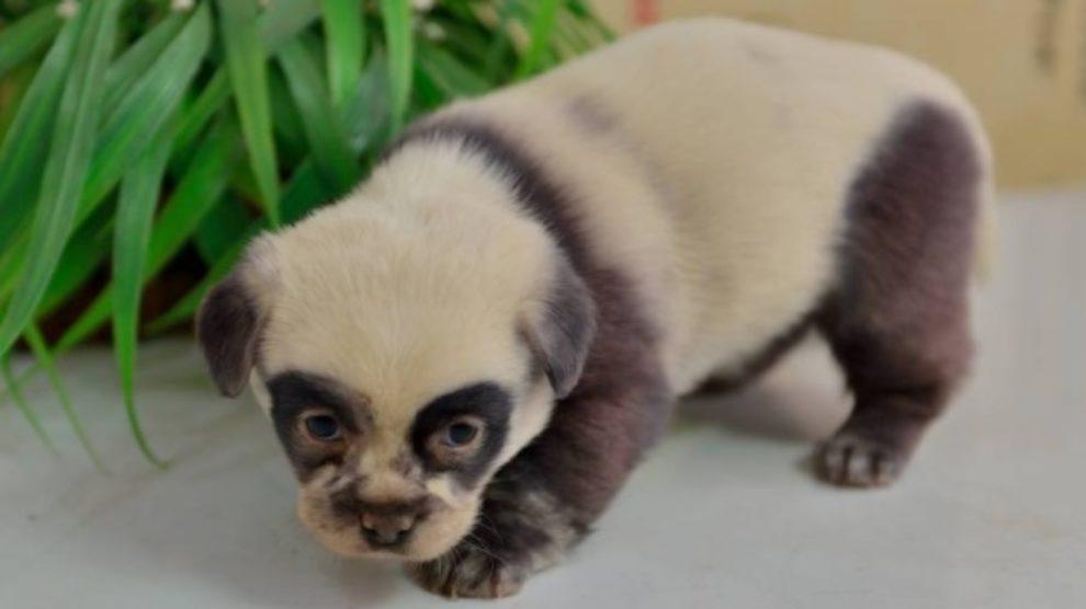 Neodoljive panda kuce!
