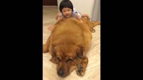 Ovako se tibetanski mastif igra sa decom!