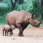 svet-bogatiji-za-dva-nova-nosoroga-m