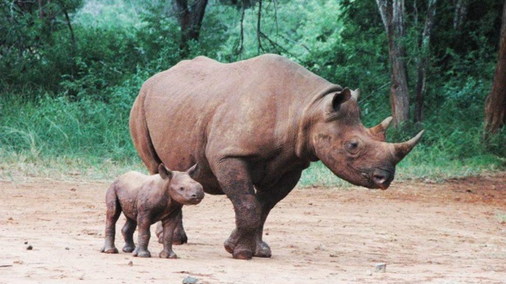 Svet bogatiji za dva nova nosoroga!