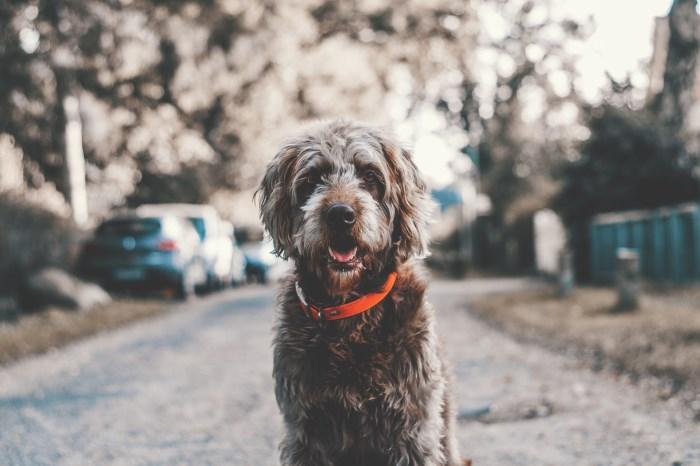prelepi čupavi pas na ulici